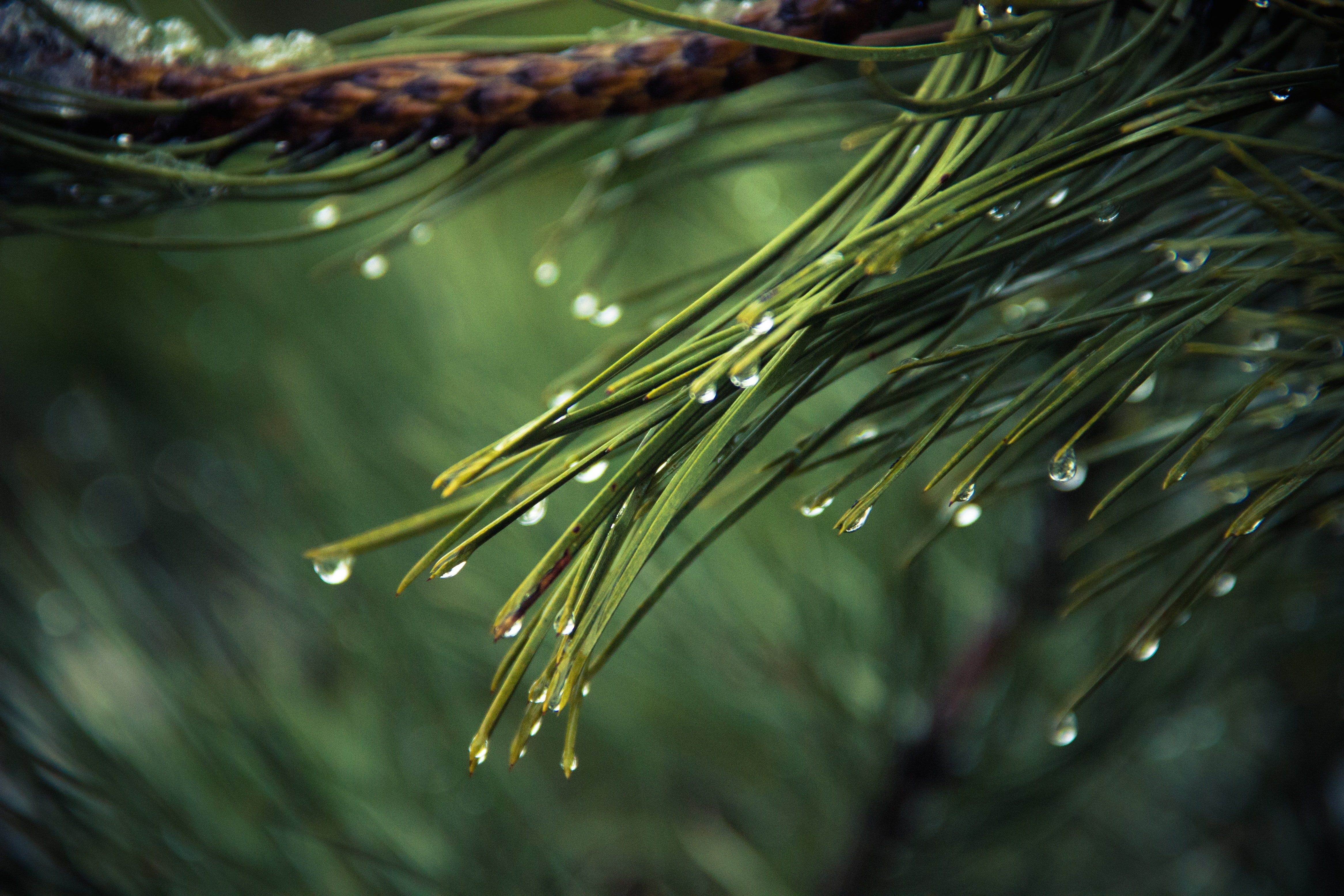 water drops on pine