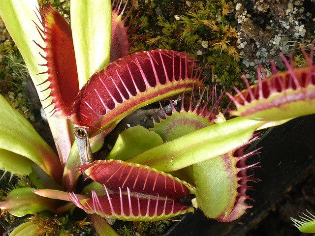 venus flytrap