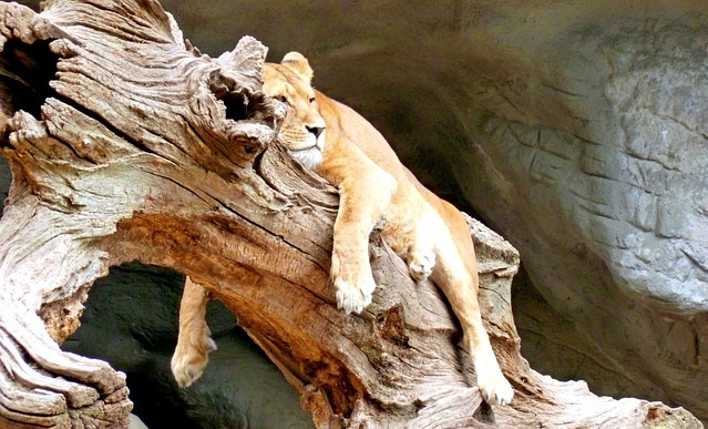 sleeping lioness on a tree